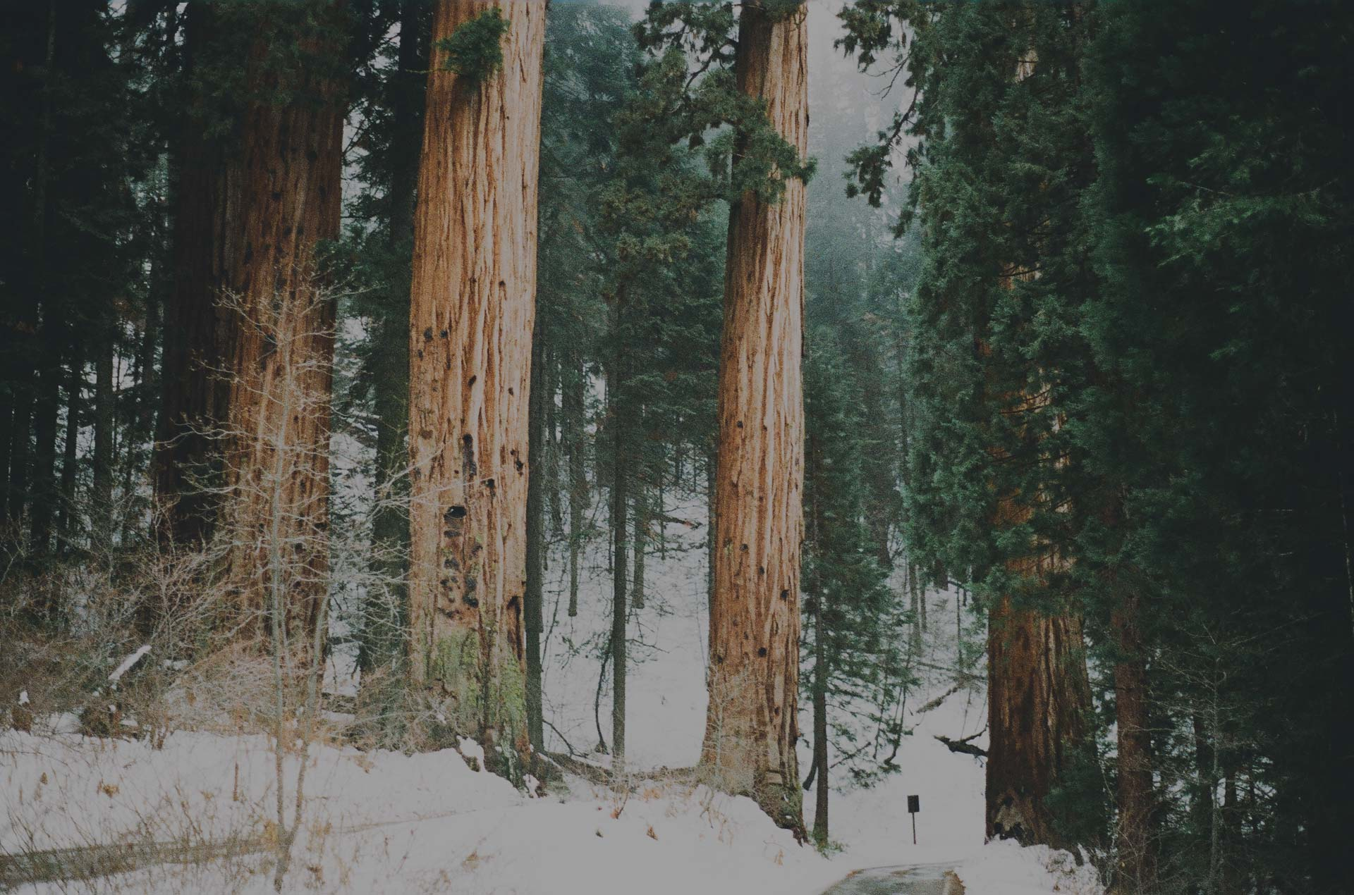 SequoiaBigs